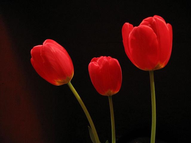 Tulipanes by AndreZ, via Flickr