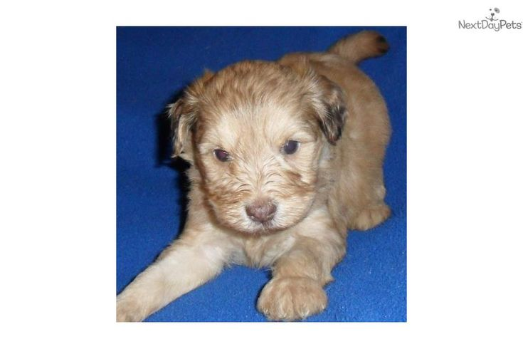 Meet Toby a cute Schnoodle puppy for sale for $500. Toby, Male Toy Schnoodle puppy for Sale in Ohio