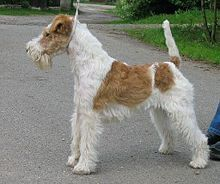 The wire fox terrier is a breed of dog, one of many terrier breeds. It is a fox terrier, and although it bears a resemblance to the smooth fox terrier, they are believed to have been developed separately.