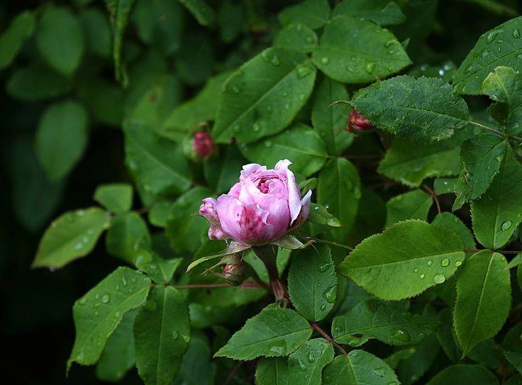 Underbara rosor efter nattens regnskur. Näring sekatörer och andra odlingstillbehör för att lyckas med rosorna i din trädgård hittar du på vår hemsida.  Fortsatt trevlig sommar!