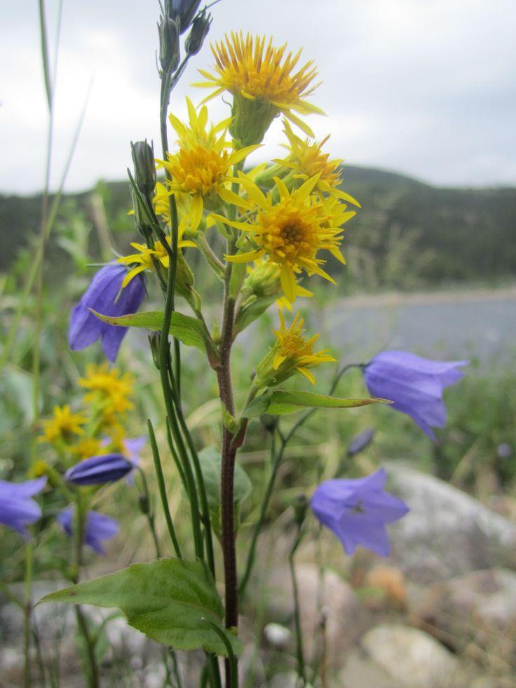 TIKINNGUAQ or tikiapik, or tikiujaq; Campanula rotundifolia; harebells; C. uniflora, arctic harebell)