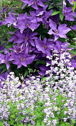 How to Grow Clematis: Gardens Ideas, More Yard Flowers, Growing Clematis, Purple Flowers Gardens, Purple Clematis, Companion Plants, Purple Flowers & Plants, Plants Clematis, Purple I Flowers