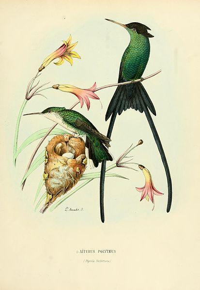 Aithurus polytmus = Trochilus polytmus[1] Date 1877 Source E. Mulsant et Edouard Verreaux: Histoire naturelle des oiseaux-mouches, ou, C...