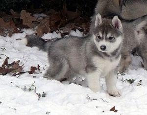 Gray Siberian Husky Puppy! // Alaska \