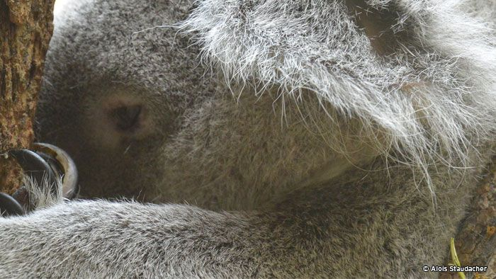 When was the last time you saw an air-conditioned eucalyptus tree? Yeah, unfortunately koalas don't have all the creature comforts we do which is why many koalas struggle when the temperature rises. James went to meet some, and the lady in charge of looking after them.
