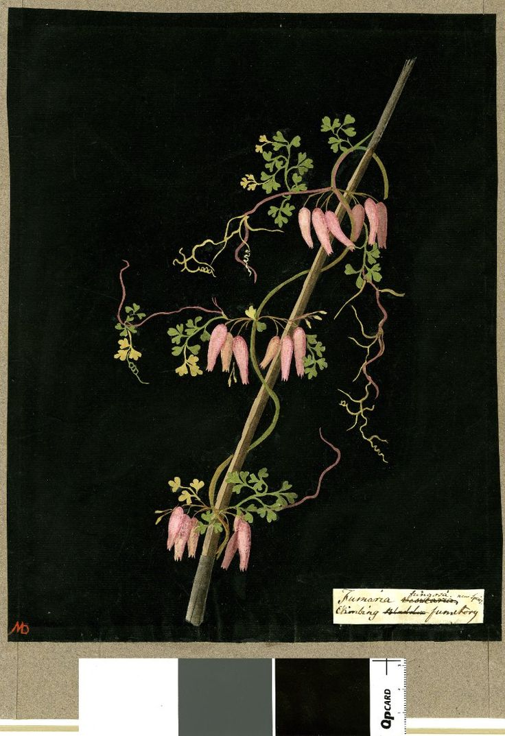 Fumaria Fungosa (Diadelphia hexandria), from an album (Vol.IV, 37); Climbing fumitory. 1776 Collage of coloured papers, with bodycolour and watercolour, on black ink background, Mary Delany (1700-1788)