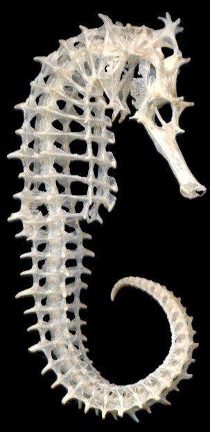 swollensuns:  Seahorse skeleton