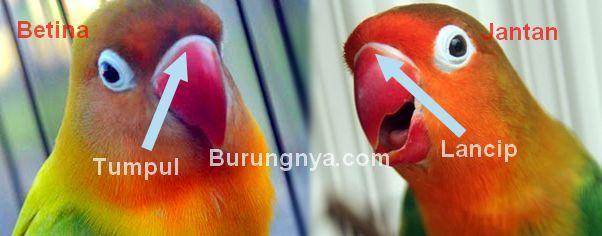 13 Cara Membedakan Lovebird Jantan Dan Betina Yang Paling Akurat Burungnya Com