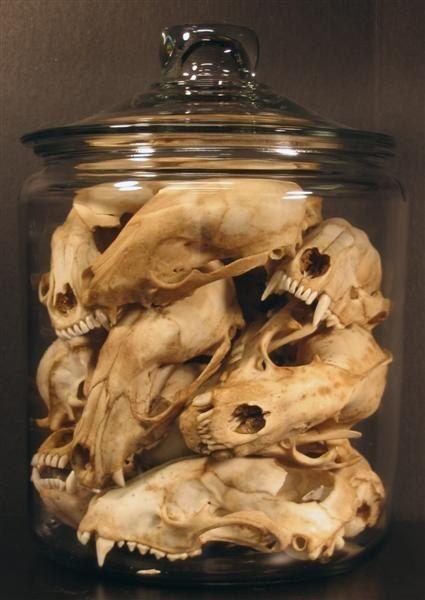 Collection de crânes d'animaux dans un bocal