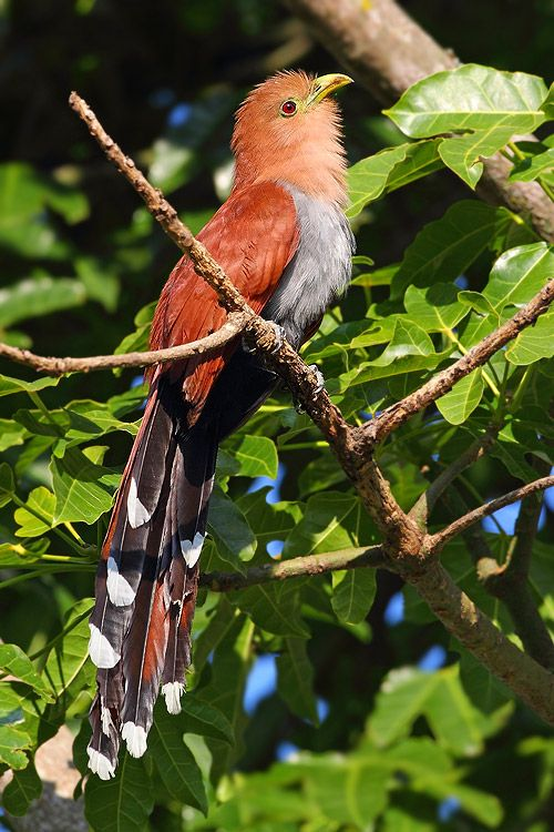 Squirrel Cuckoo 17 Best images about W...