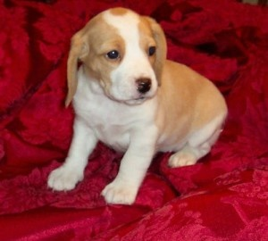 Karthy Best  Beagle Puppies for Sale