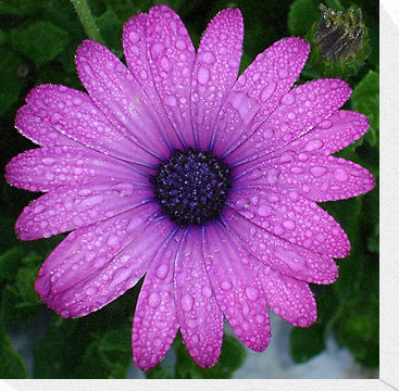 Purple Daisy tattoo idea?