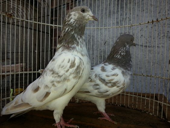 Very good flying tipplers for sale