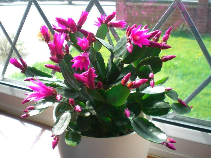 Hybridization has given us a host of beautiful and unusual plants to choose from, such as the Christmas and Easter cactus, hybrids of the Brazilian forest cactus. This article focuses on the Easter cactus plant.
