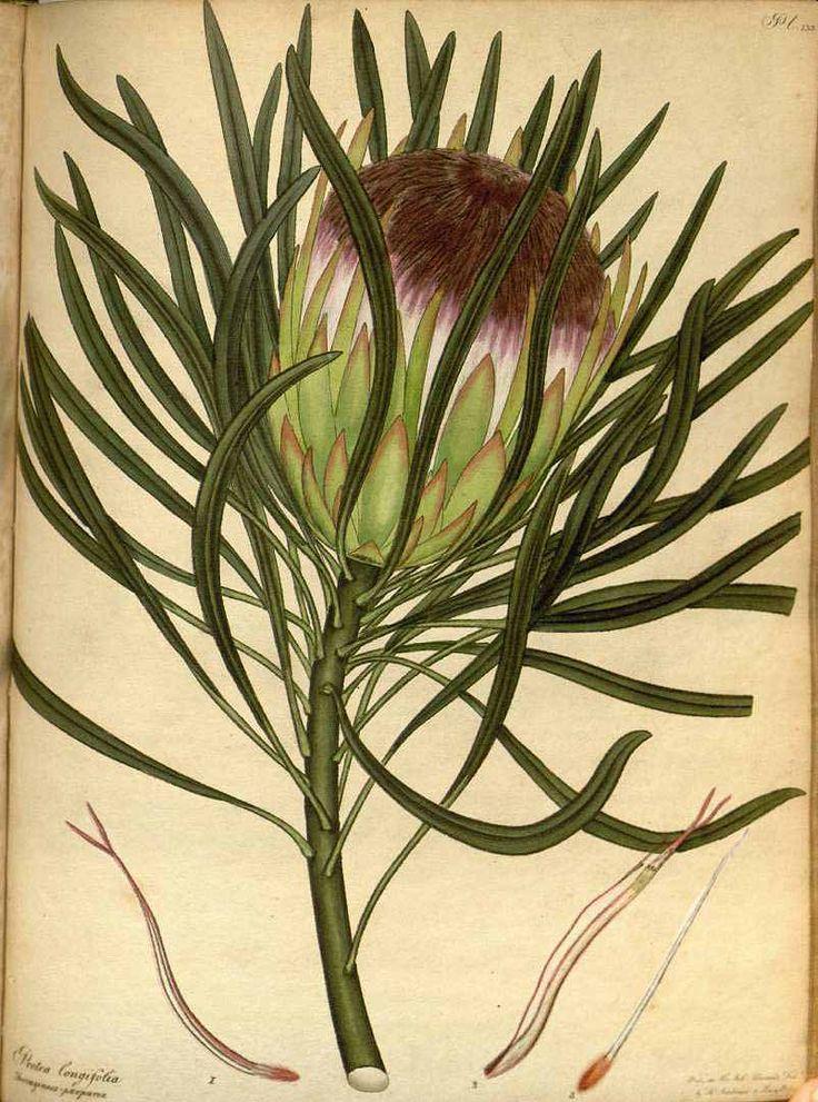 111364 Protea longifolia Andrews var. ferruginoso-purpurea / The botanist's repository [H.C. Andrews], vol. 2: t. 133 (1799-1801) [H.C. Andrews]