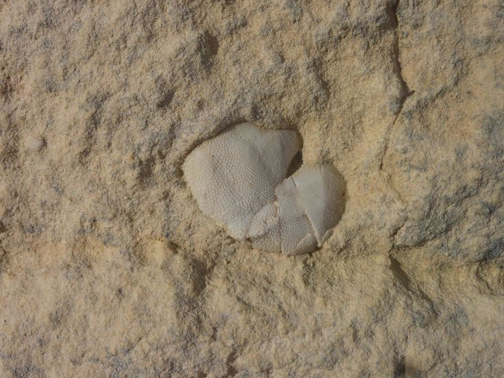 Malta fossil Sea Urchin for a #sustainable #scuba