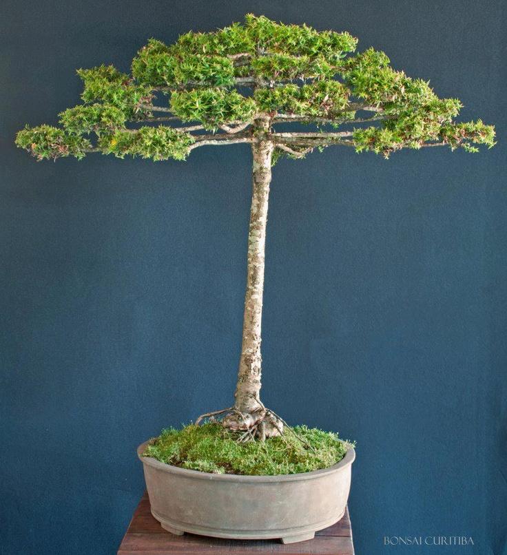 1194 besten bonsai bilder auf pinterest bonsai landschaftsbau und g rtnern. Black Bedroom Furniture Sets. Home Design Ideas