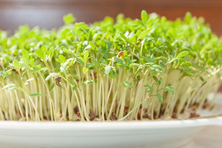 Мини-грин на окне: 7 видов витаминных растенийВсе эти растений можно назвать скороспелками: первые побеги  у них «проклевываются» буквально на 2-3 день после посадки семян. Но если укроп и петрушку обычно сажают в землю, то кресс-салат лучше выращивать «в открытую». Лучше всего зарекомендовал себя такой способ: в лотке устанавливают тонкий слой ваты или марли, сверху его слегка присыпают торфом, равномерно выкладывают семена и обильно поливают все это водой. Главное условие успешного…