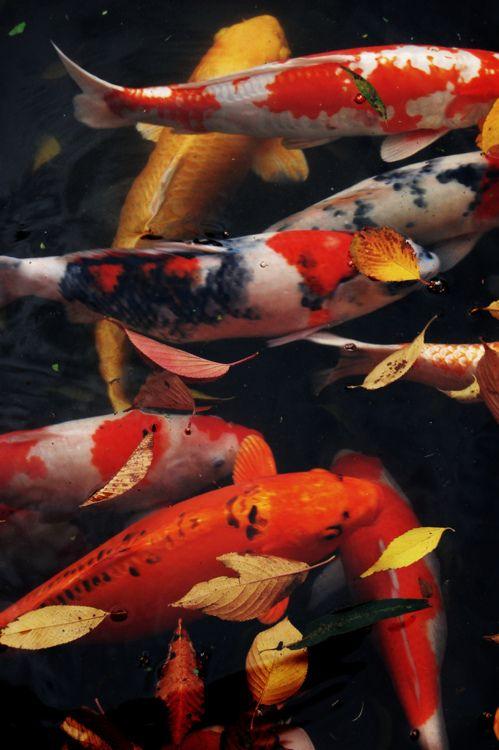 35 besten koi bilder auf pinterest wasserfarben fisch for Japanischer kampffisch