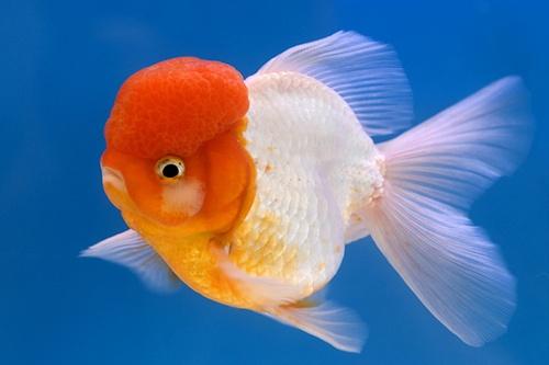 oranda goldfish | Tumblr