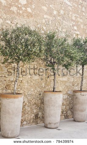 Blooming olive trees in terracotta pots arranged in a row along a cobblestone…