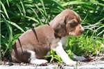 Beagle Puppies For Sale - Puppy Breeders