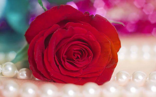 رد جوري احمر متحرك ورد جوري احمر وابيض ورد جوري احمر رومانسي مسكات ورد جوري احمر ورد جوري احمر واب Rose Flower Wallpaper Rose Flower Pictures Red Rose Pictures