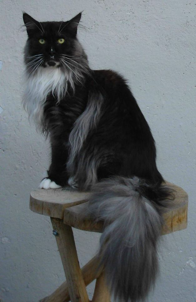 Where Can I Adopt A Norwegian Forest Cat
