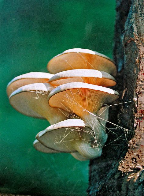 tree fungus ~~ laska gomba