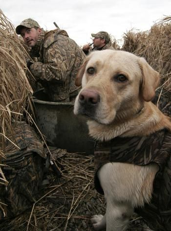 Gun Dog Training Tips: How to Correct Bad Behavior in the Blind   Outdoor Life