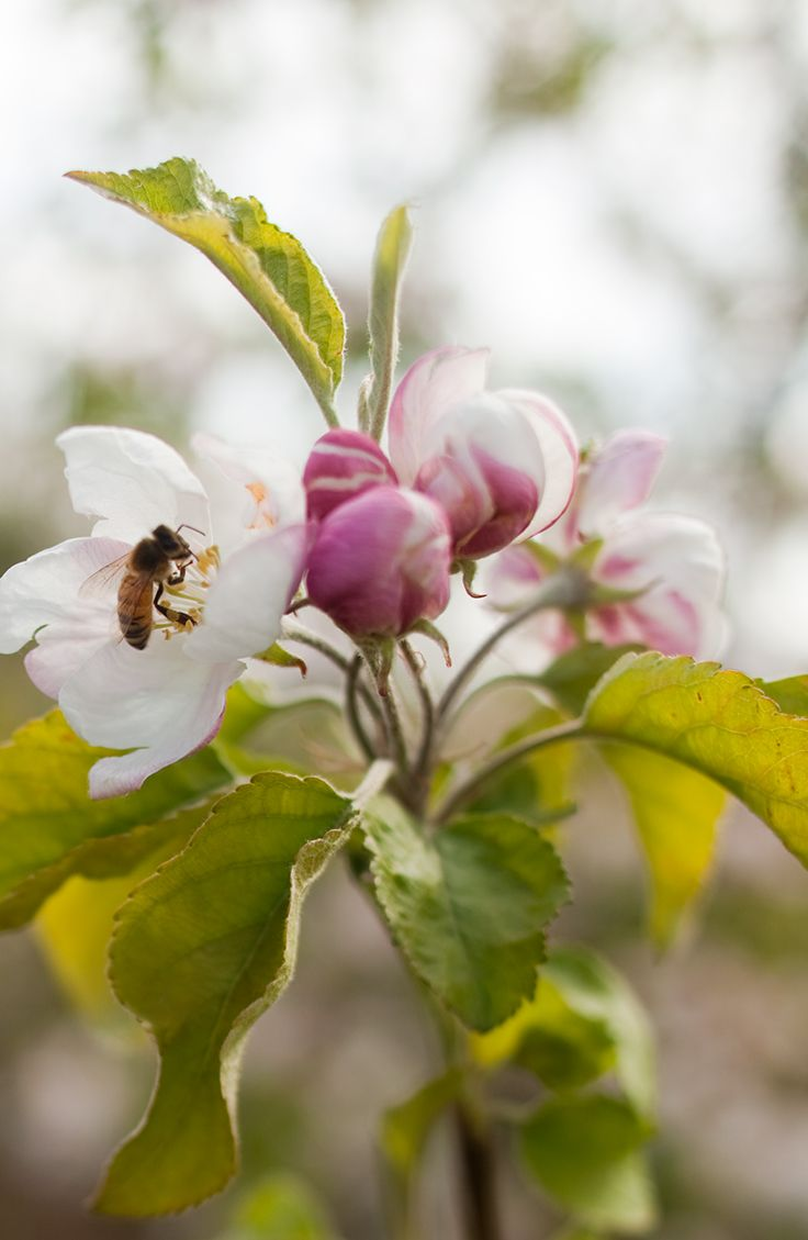 images about save the pollinators on pinterest bees honey