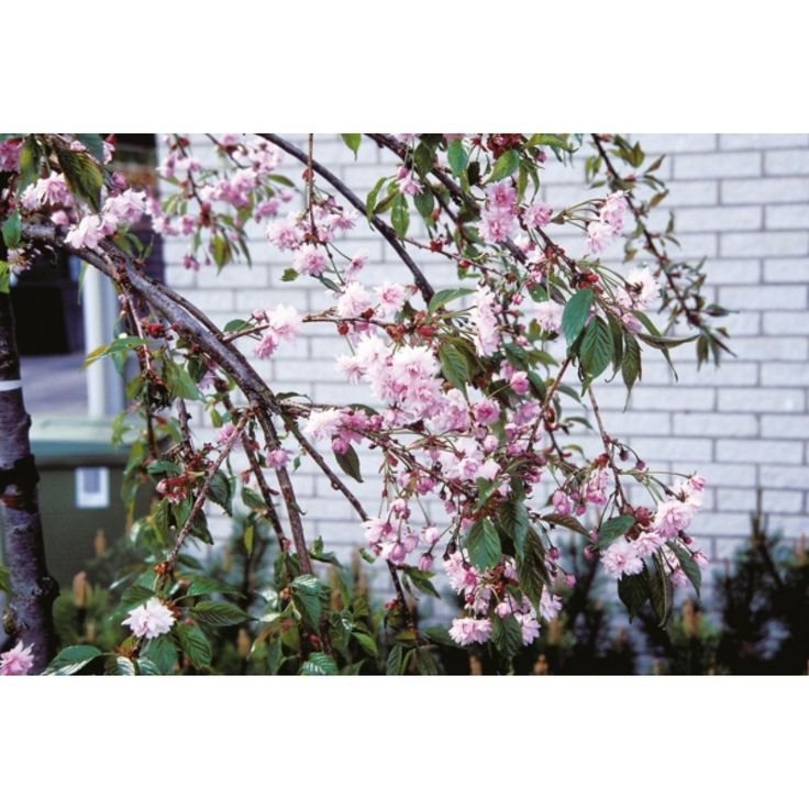 Japankirsebær, oppstammet, 125 cm - Plantasjen.no