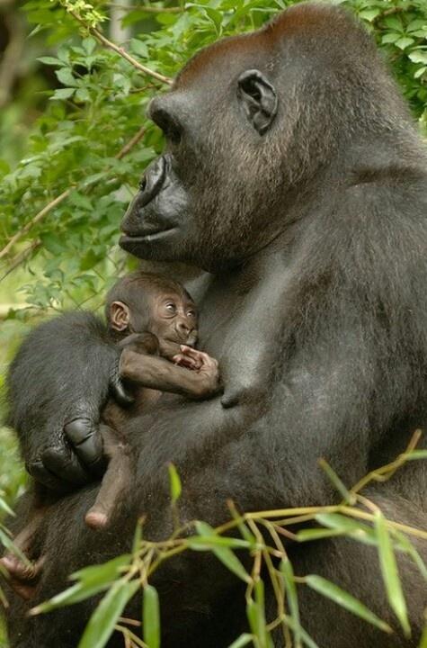 Gorilla with infant