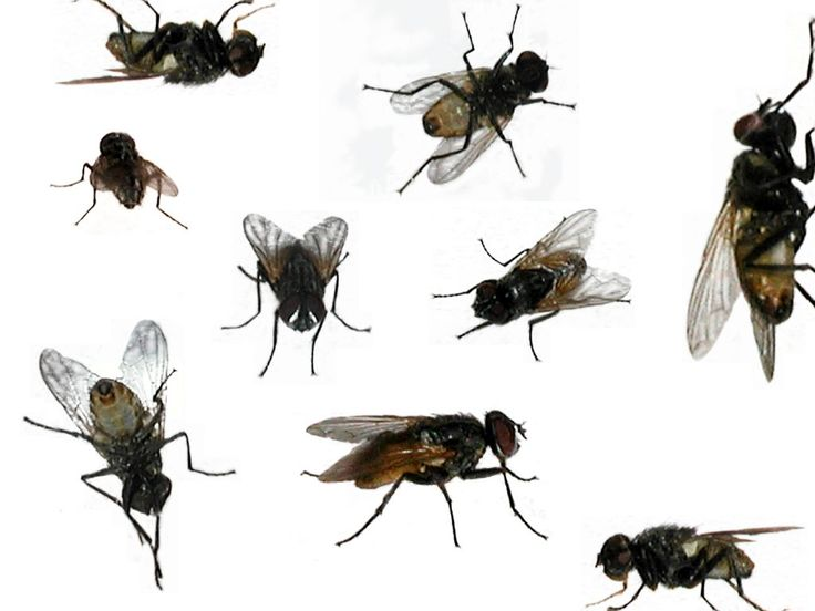 Houseflies #acexterminating #housefly