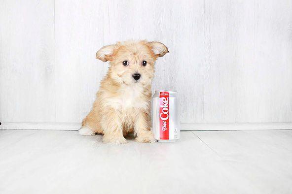 Puppies For Sale Columbus Ohio Sunrise Pups Small Breed Puppies Puppies For Sale Small Puppies Puppies