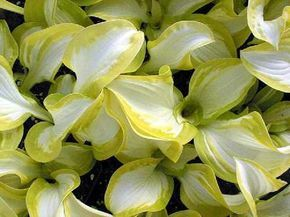 Hosta 'White Hot'