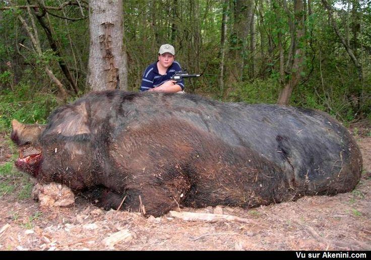 Un énorme cochon sauvage - A huge wild pig
