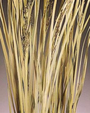 68 best images about ornamental grasses on pinterest for Wild ornamental grasses