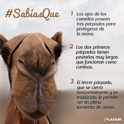 #SabíasQue #Camellos