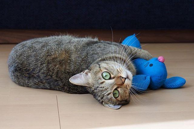 けりぐるみが好きすぎる。  #おはようございます #gm #bonjour  #ちゃんた282日目 #猫 #ねこ #cat #cats  #chat #ilovecat #instacat #catlover #cute #catoftheday #愛猫 #고양이 #保護猫 #被災猫  #キジ猫 #tigre #キジトラ #love #이쁘다 #mignon #browntabby #catsofinstagram #catstagram