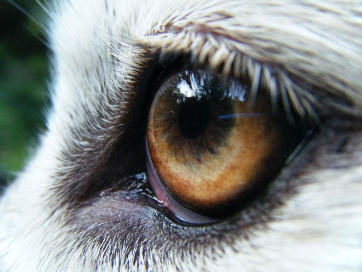 """""""Wolf Eyes""""  by Paul Winter"""