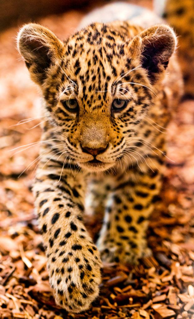 Jaguar cub on the prowl by Tambako the Jaguar.