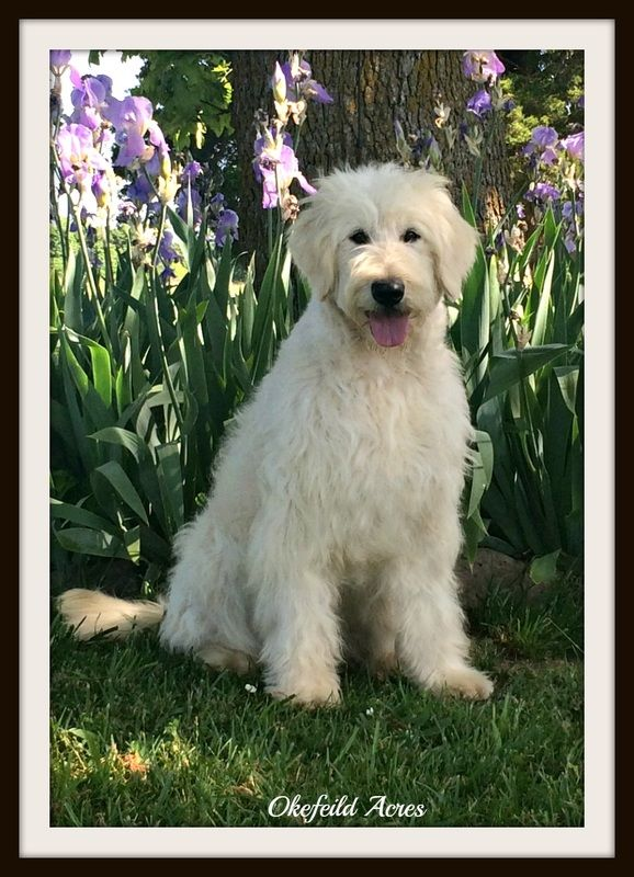 Mini And Standard Goldendoodle Dams of puppies for sale in Springfield, Missouri - Okefeild Acres