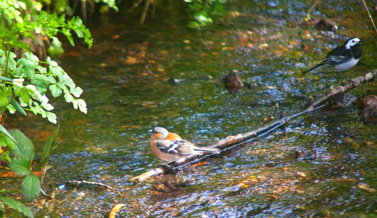 https://flic.kr/p/TJhkUy | River Wildlife @ Shoreham Kent | Wagtail & Chaffinch.. did not see the wagtail till i edited the image must have been there for a second both washing in the stream at shoreham village kent www.adamswaine.co.uk