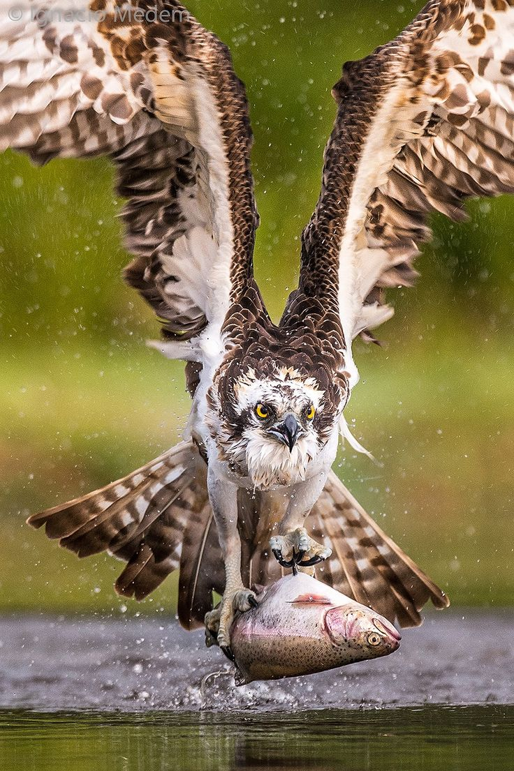 Osprey catching trout in Scotland