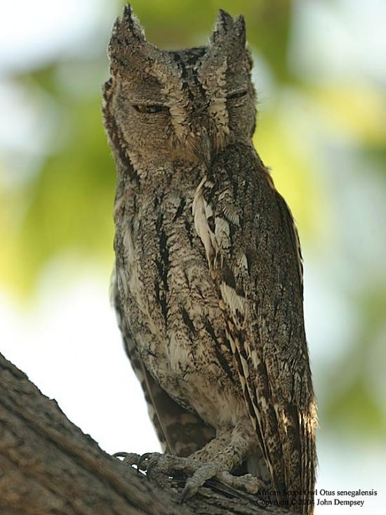Owl 57 57 best Owls images on...