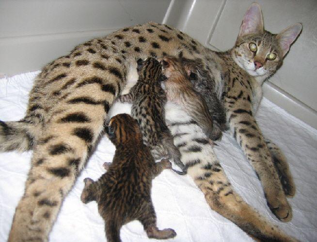 Savannah Cat FullGrown Are early generation Savannahs