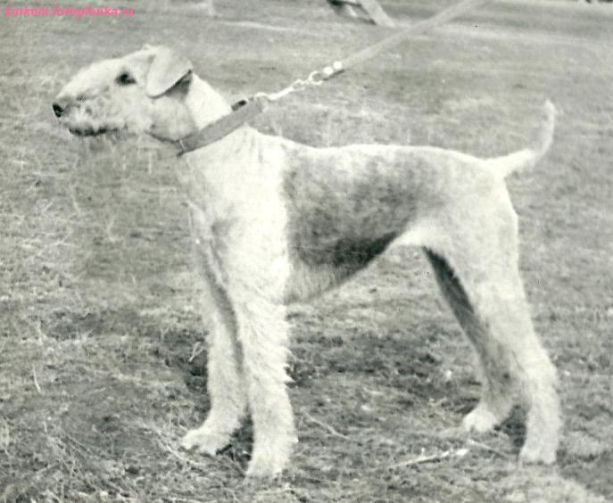 Старые открытки и фотографии с собаками эрдель