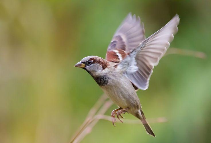 Flug Haussperling Ingo Passer domesticus Spatz Sperling Vogel