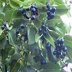 Jamun tree-Neredu chettu | Plants, Black flowers, Flowers